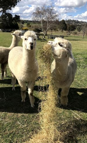 Clearview Alpacas - Maitland Accommodation