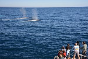 Blue Whale Perth Canyon Expedition - Maitland Accommodation