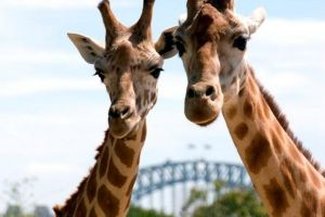Sydney Harbour Ferry with Taronga Zoo Entry Ticket - Maitland Accommodation